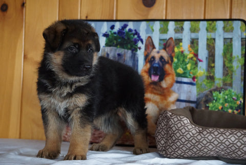 AKC Registered German Shepherd For Sale Baltic Ohio Female Kendra