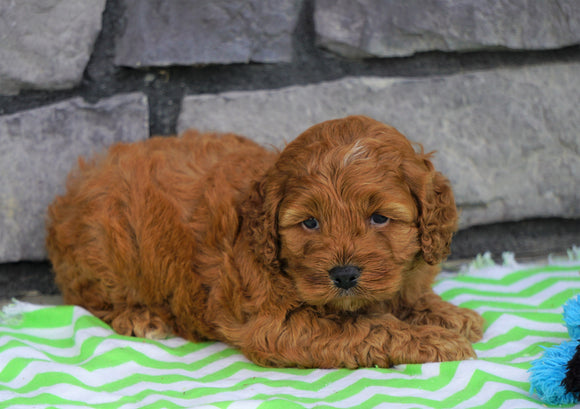 Cockapoo For Sale Millersburg, OH Female- Jenna