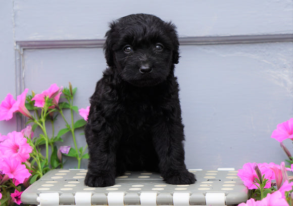 Mini Aussiedoodle For Sale Wooster, OH Male- Champ