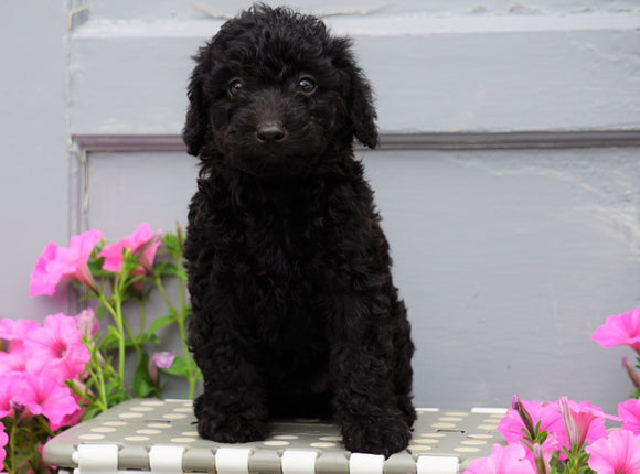Mini Aussiedoodle For Sale Wooster, OH Female- Blossom