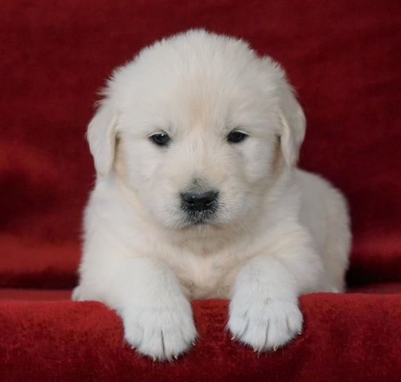 AKC Registered English Cream Golden Retriever For Sale Fredericksburg, OH Male- Beamer