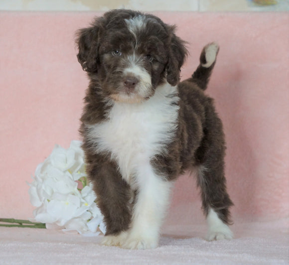 Aussiedoodle For Sale Baltic, OH Female- Barbie