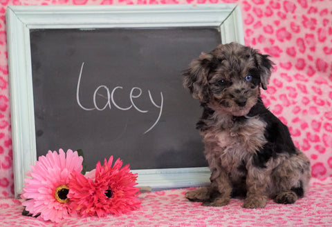 Cockapoo Puppy For Sale Millersburg, OH Female- Lacey