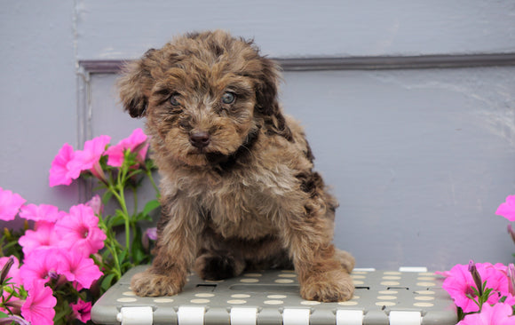 Mini Aussiedoodle For Sale Wooster, OH Female- Callie