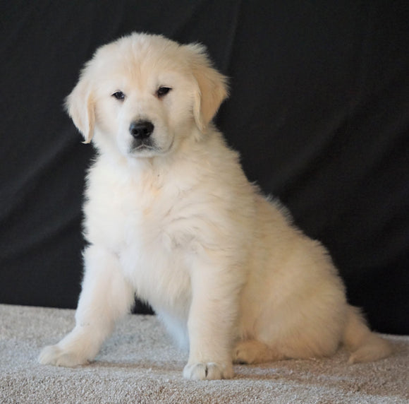 AKC English Creme Golden Retriever For Sale Fredericksburg, OH Male - Buster