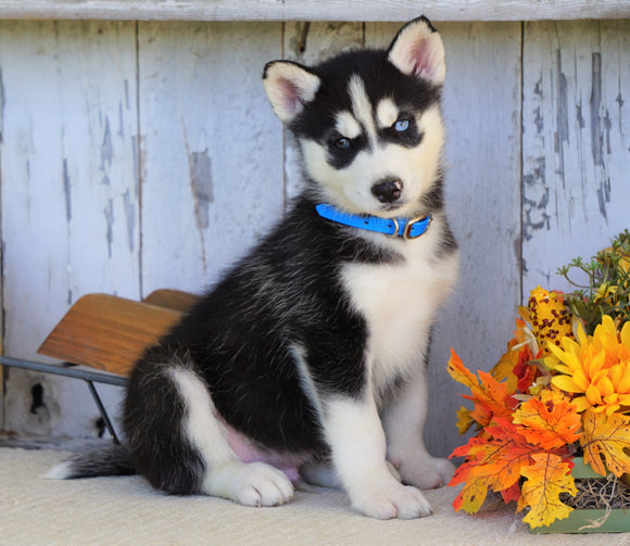 AKC Registered Siberian Husky For Sale Millersburg, OH Male- Max