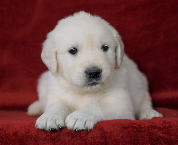 AKC Registered English Cream Golden Retriever For Sale Fredericksburg, OH Male- Miles