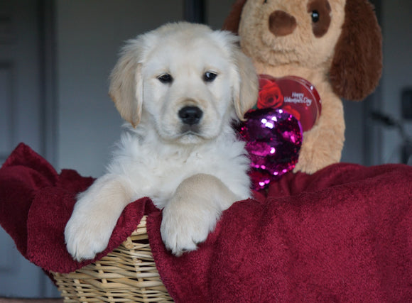 AKC Registered Golden Retrievers For Sale Shreve, OH Male - Tucker