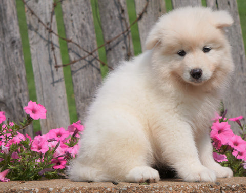 AKC Registered Samoyed Puppy For Sale Holmesville, OH Female- Sasha