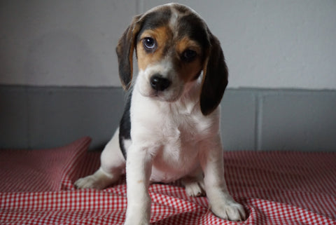 Beagle Puppy For Sale Baltic Ohio Female Suzie