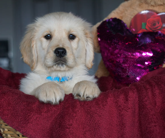 AKC Registered Golden Retrievers For Sale Shreve, OH Male - Tye