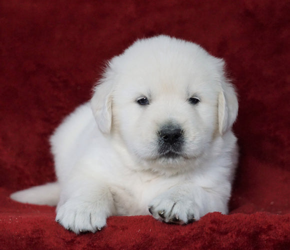 AKC Registered English Cream Golden Retriever For Sale Fredericksburg, OH Male- Hugo