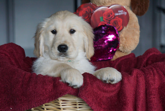 AKC Registered Golden Retrievers For Sale Shreve, OH Male - Tanner