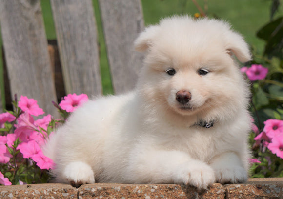 AKC Registered Samoyed Puppy For Sale Holmesville, OH Female- Samantha