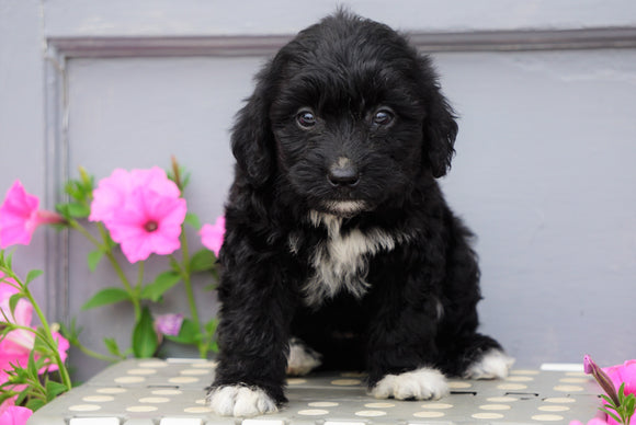 Mini Aussiedoodle For Sale Wooster, OH Female- Izzy