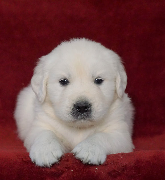 AKC Registered English Cream Golden Retriever For Sale Fredericksburg, OH Male- Dexter