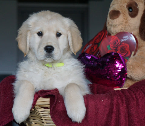 AKC Registered Golden Retrievers For Sale Shreve, OH Female - Gina