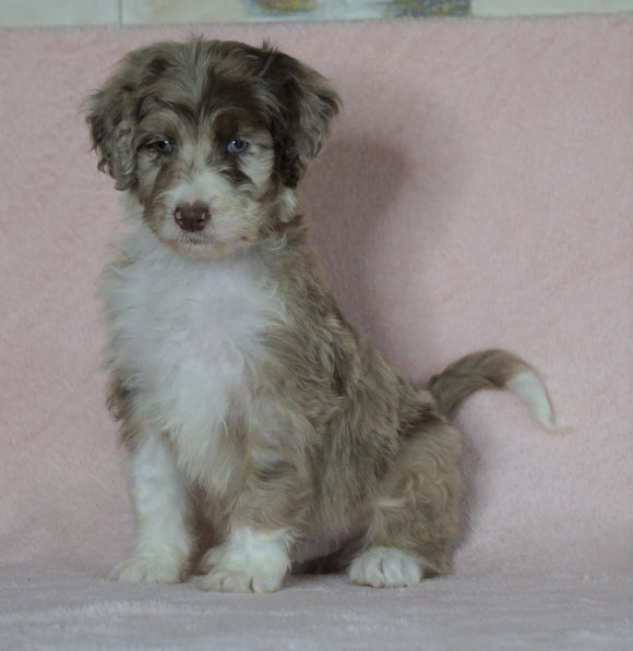 Aussiedoodle For Sale Baltic, OH Male- Alex