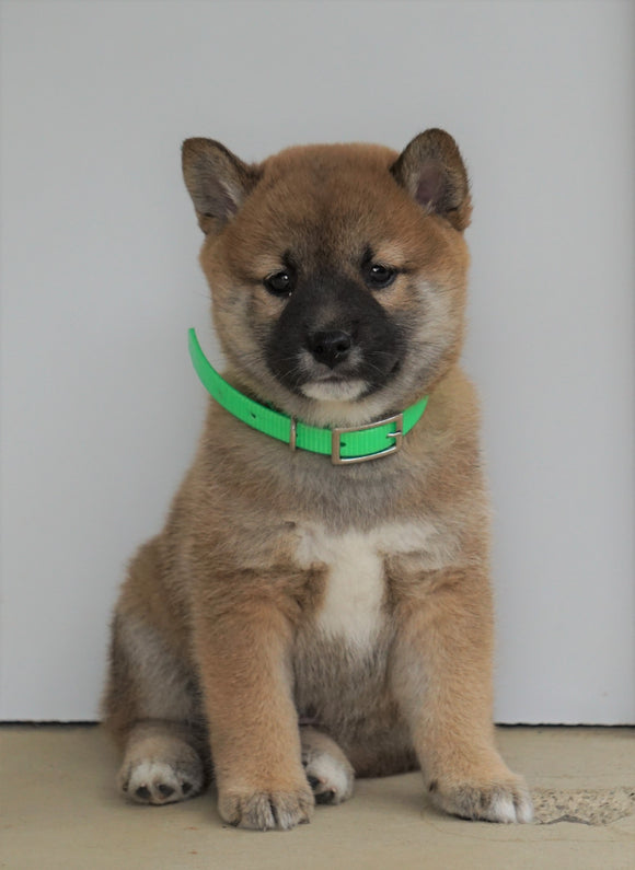 AKC Registered Shiba Inu For Sale Dundee, OH Male- Mister