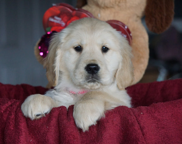 AKC Registered Golden Retrievers For Sale Shreve, OH Female - Maggie