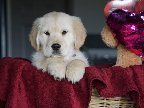 AKC Registered Golden Retrievers For Sale Shreve, OH Female - Carly