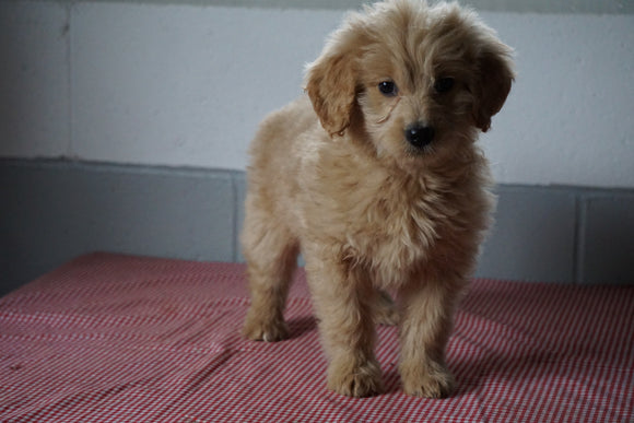 Goldendoodle Puppy For Sale Baltic Ohio Female Plum