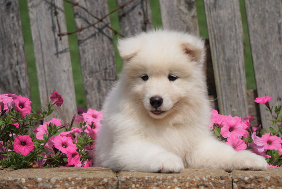 AKC Registered Samoyed Puppy For Sale Holmesville, OH Female- Sadie
