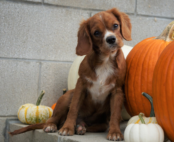Cavalier King Charles Spaniel For Sale Wooster, OH Male- Buddy