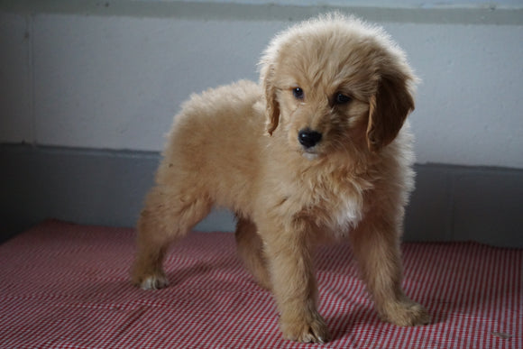Goldendoodle Puppy For Sale Baltic Ohio Female Molly