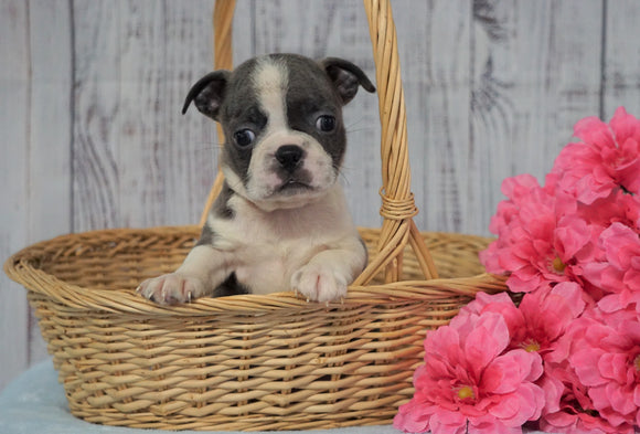 AKC Registered Boston Terrier For Sale Warsaw, OH Female- Princess