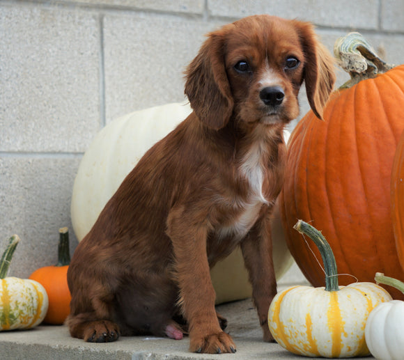 Cavalier King Charles Spaniel For Sale Wooster, OH Male- Roscoe