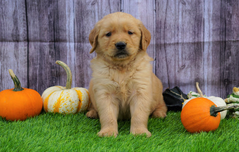 AKC Registered Golden Retriever For Sale Fredericksburg, OH Male- Ben