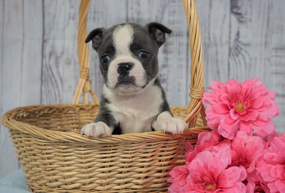 AKC Registered Boston Terrier For Sale Warsaw, OH Female- Teenie