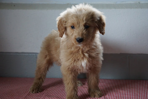 Goldendoodle Puppy For Sale Baltic Ohio Male Russel