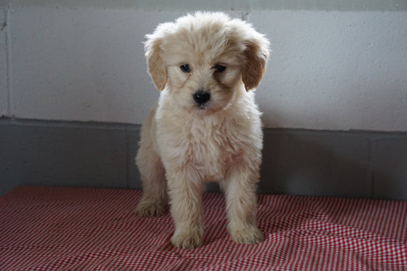 Goldendoodle Puppy For Sale Baltic Ohio Female Lucy