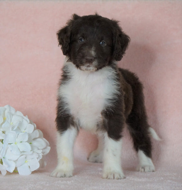 Aussiedoodle For Sale Baltic, OH Male- Kypo