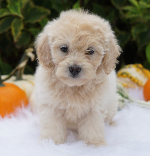 F1B Mini Goldendoodle For Sale Fredericksburg, OH Male- Abner