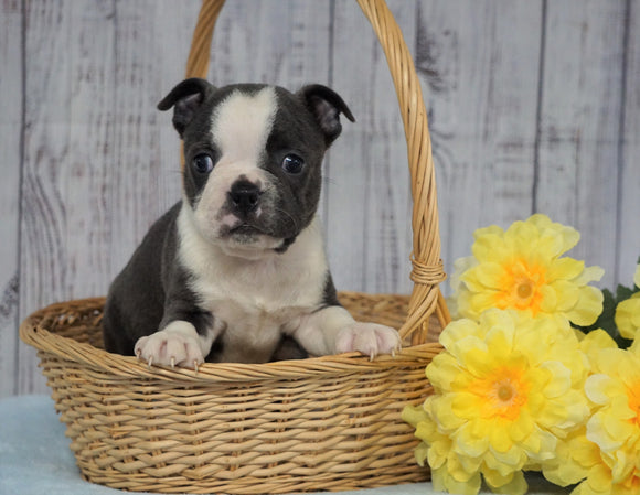 AKC Registered Boston Terrier For Sale Warsaw, OH Male- Russel