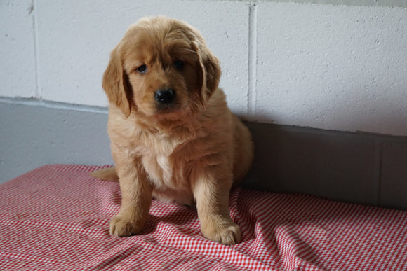 ACA Registered Golden Retriever For Sale Baltic Ohio Female Daisy