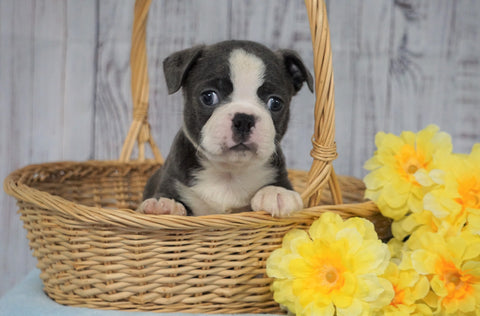 AKC Registered Boston Terrier For Sale Warsaw, OH Male- Charlie