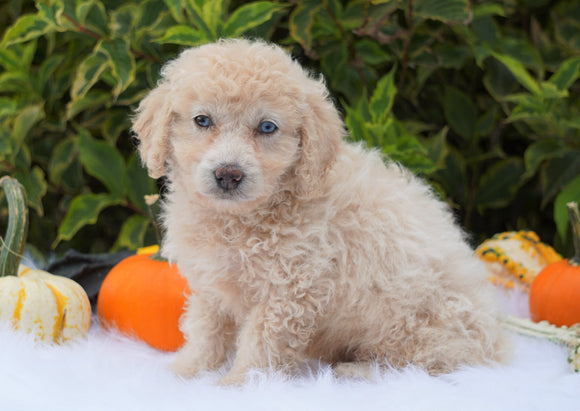 F1B Mini Goldendoodle For Sale Fredericksburg, OH Male- Alton