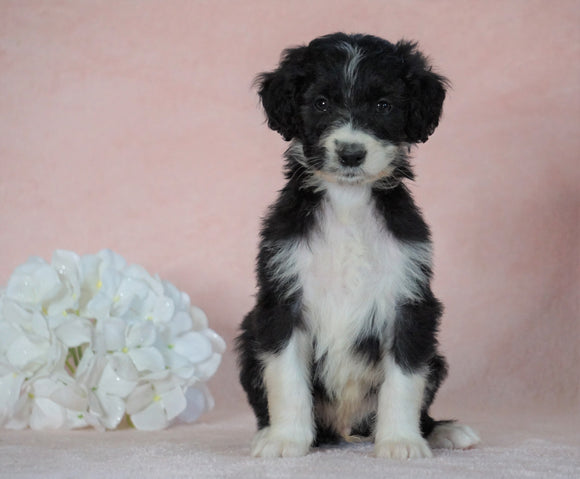 Aussiedoodle For Sale Baltic, OH Male- George