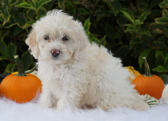 F1B Mini Goldendoodle For Sale Fredericksburg, OH Female- Abby