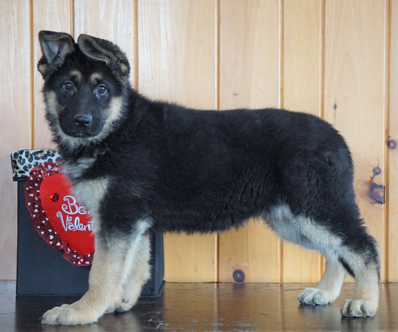 AKC Registered German Shepherd For Sale Baltic, OH Female - Lexus