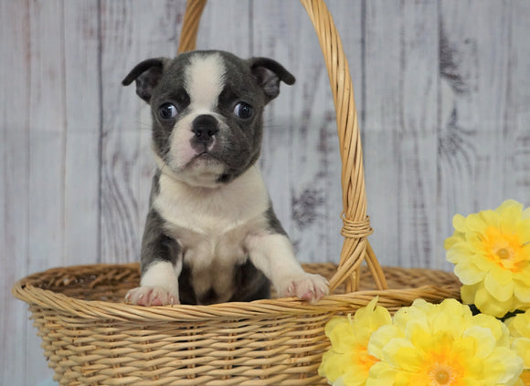 AKC Registered Boston Terrier For Sale Warsaw, OH Male- Gizmo