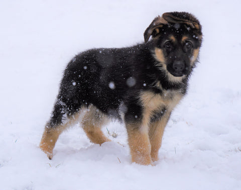 AKC Registered German Shepherd For Sale Baltic, OH Male - Frisky