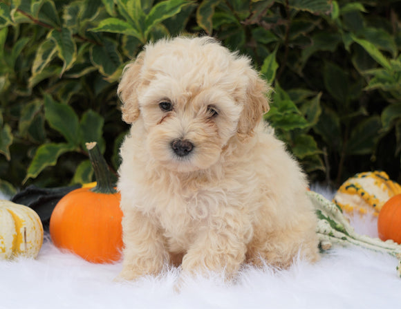 F1B Mini Goldendoodle For Sale Fredericksburg, OH Male- Alex