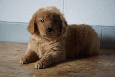 ACA Registered Golden Retriever For Sale Baltic Ohio Female Lily