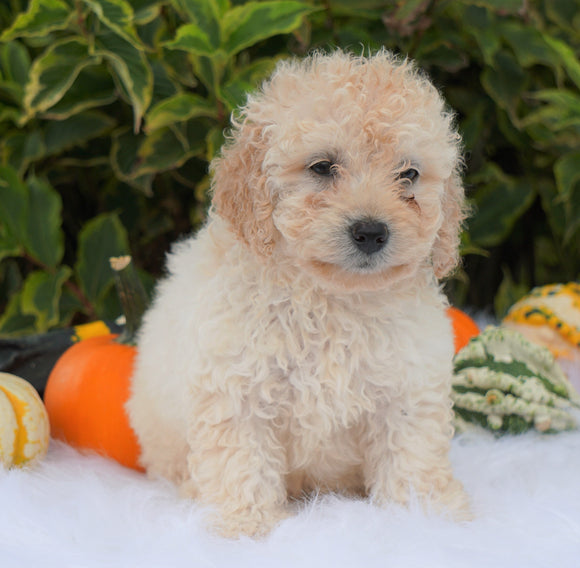 F1B Mini Goldendoodle For Sale Fredericksburg, OH Male- Aden
