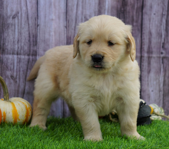 AKC Registered Golden Retriever For Sale Fredericksburg, OH Male- Bozo